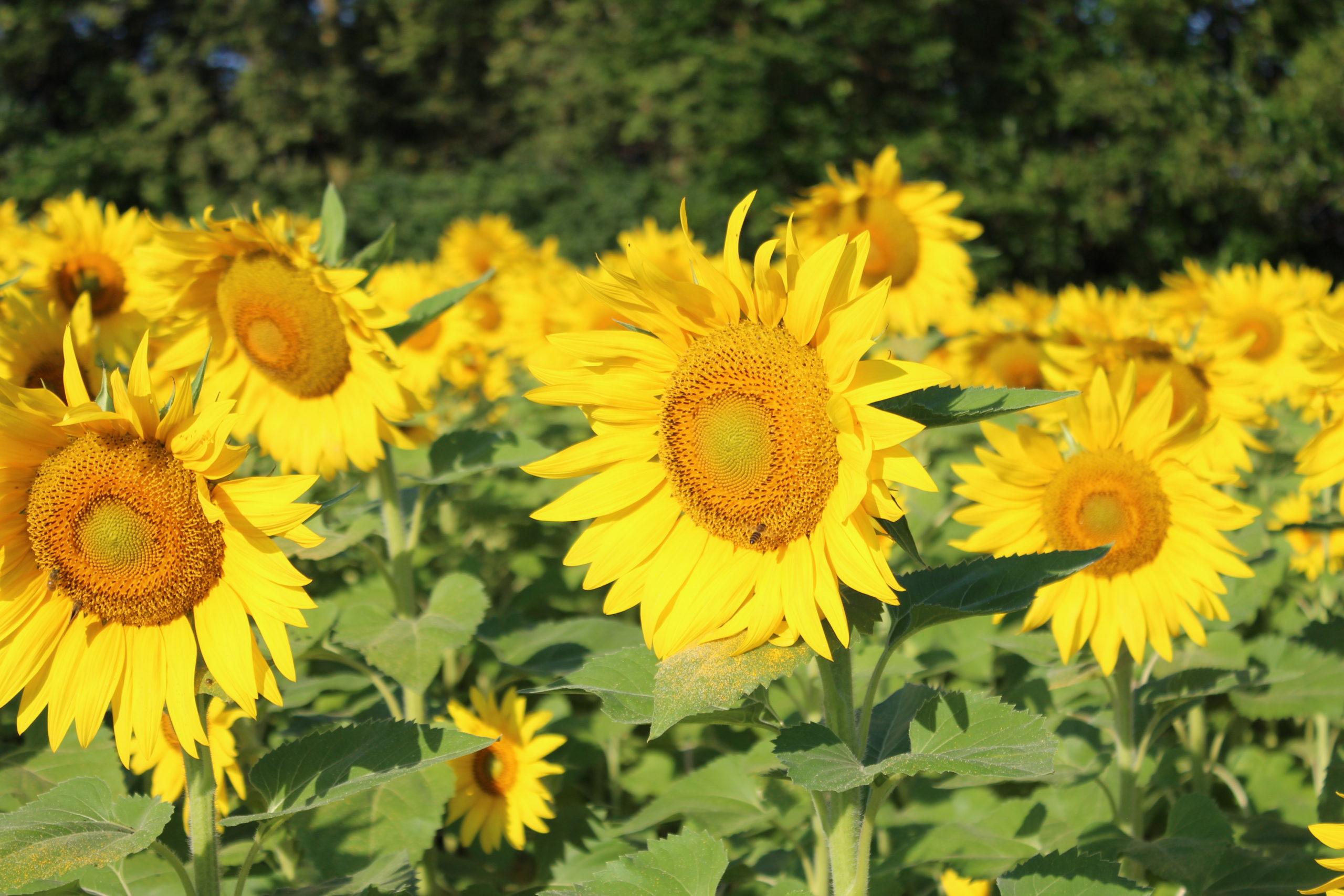 Sunfowers at Stone Creek